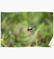 Carpenter Bee keeping watch. Poster