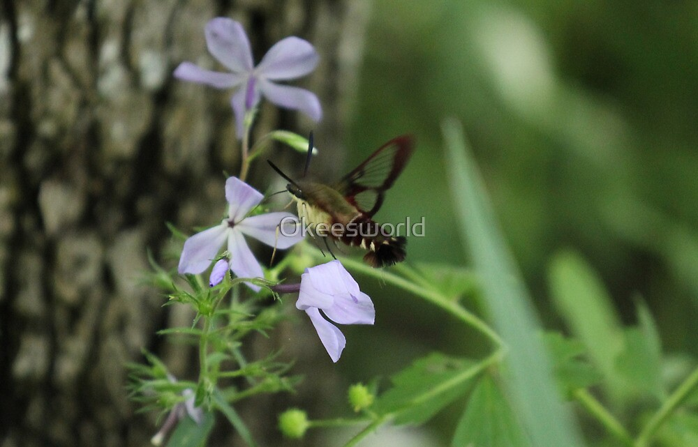 It's a bee, no a hummingbird, wait...a Moth? by Okeesworld