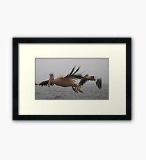 Flight of the Pelicans Framed Print