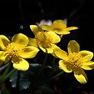 Marsh Marigolds by Samantha Higgs