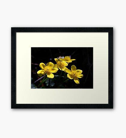 Marsh Marigolds Framed Print