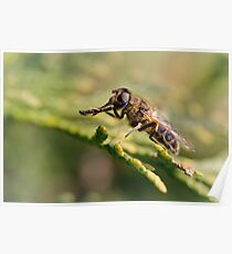 European hoverfly (Eristalis pertinax) Poster