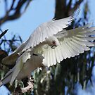 Corella Funtimes by Phillip Weyers