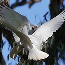 Corella Funtimes 2 by Phillip Weyers