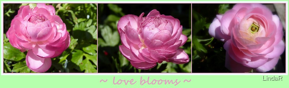 Love Blooms... by LindaR