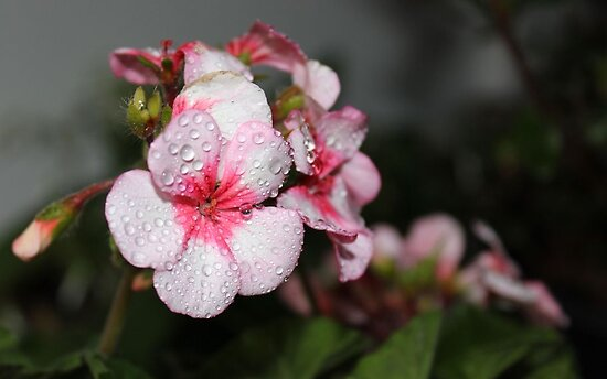 Rain on the Geraniums by aprilann