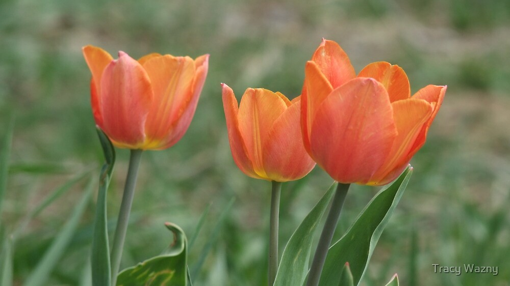 The First Three Tulips Of The Spring by Tracy Wazny