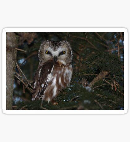 Saw-whet Owl Sticker