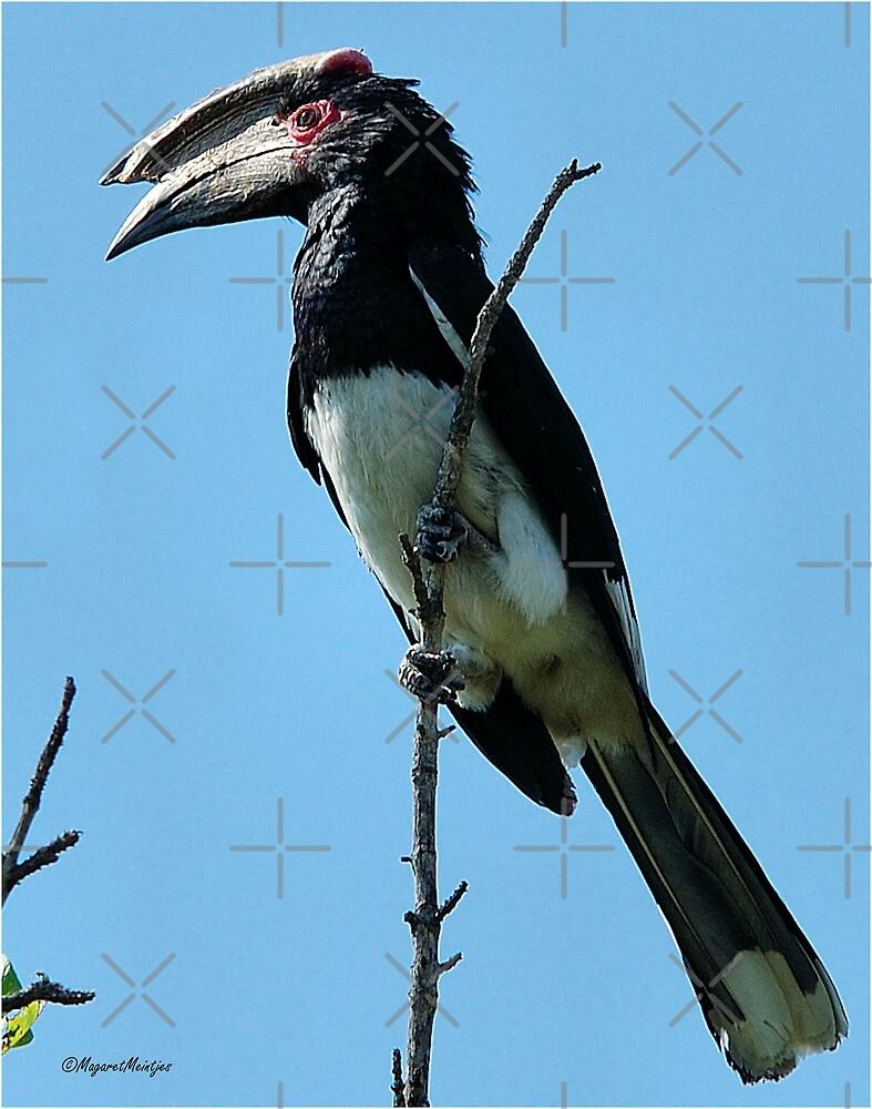MALE TRUMPETER HORNBILL - Bycanistes bucinater - Gewone boskraai by Magriet Meintjes