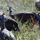 Helmeted Guinea Fowl by Pauline Adair
