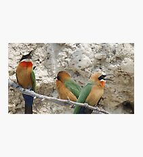White fronted Bee-eaters Photographic Print
