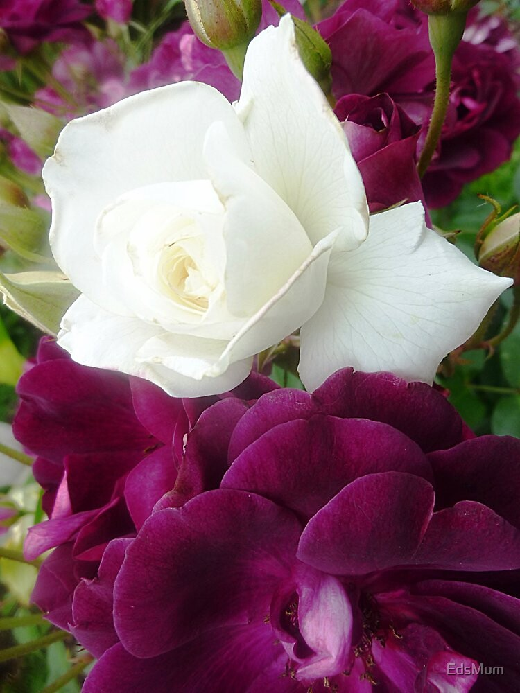 Iceberg Rose - growing 2 colours by EdsMum