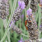 In the Lavender by Emily McAuliffe