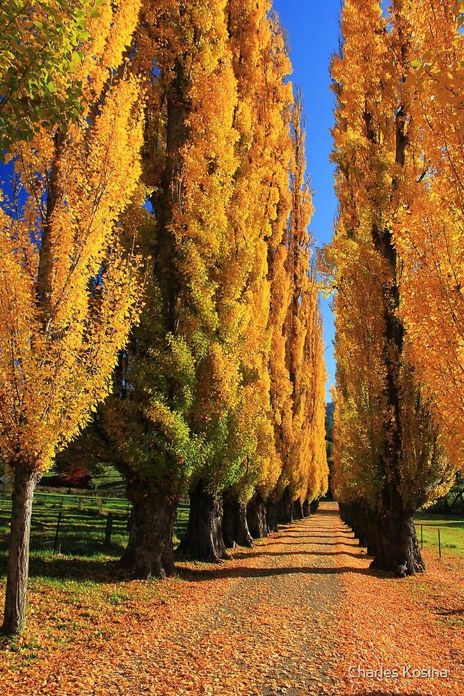 Poplars at Wandiligong by Charles Kosina