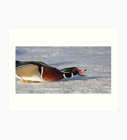 Protecting his territory - Wood Duck Art Print