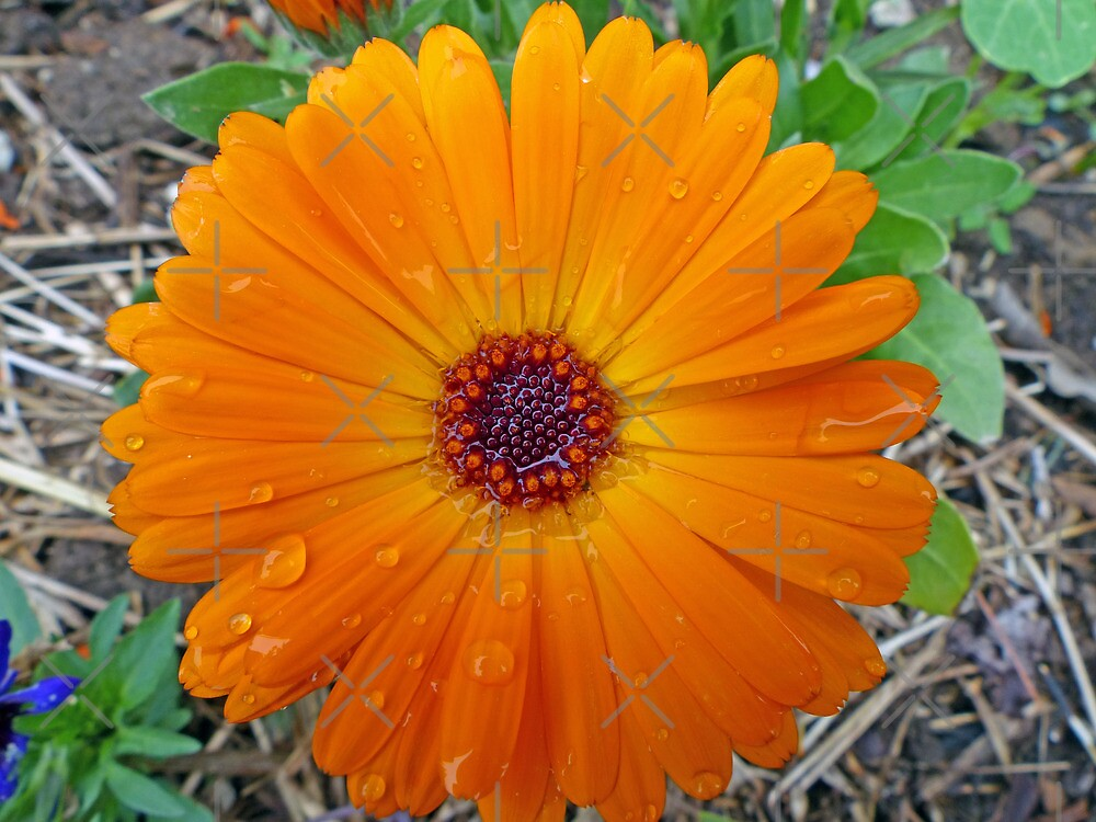 Calendula after a Spring Shower by FrankieCat