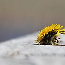 dandelion on the wall by NordicBlackbird