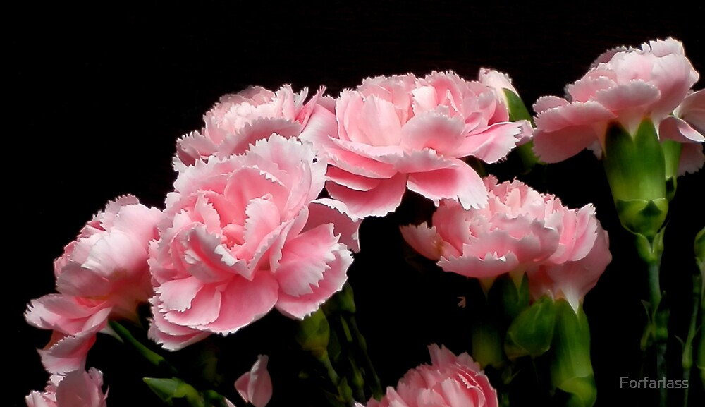 Pink Carnations by Forfarlass