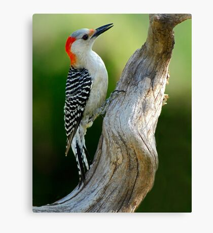 Working on It - Female Red-Belllied Woodpecker Canvas Print