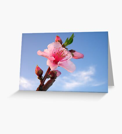 Single Peach Blossom Flower In Dawn Light Greeting Card