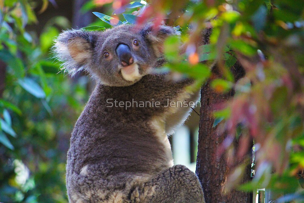 Koala by Stephanie Jensen