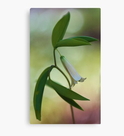 Bellwort --- Spring 2013 Canvas Print