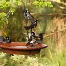 I'ts Bath Time! New Holland Honeyeaters, Mount Pleasant. S.A. by Rita Blom