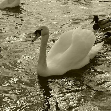 Swan in the lake by Nimi