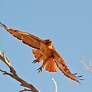 051013 Red Tailed Hawk by Marvin Collins