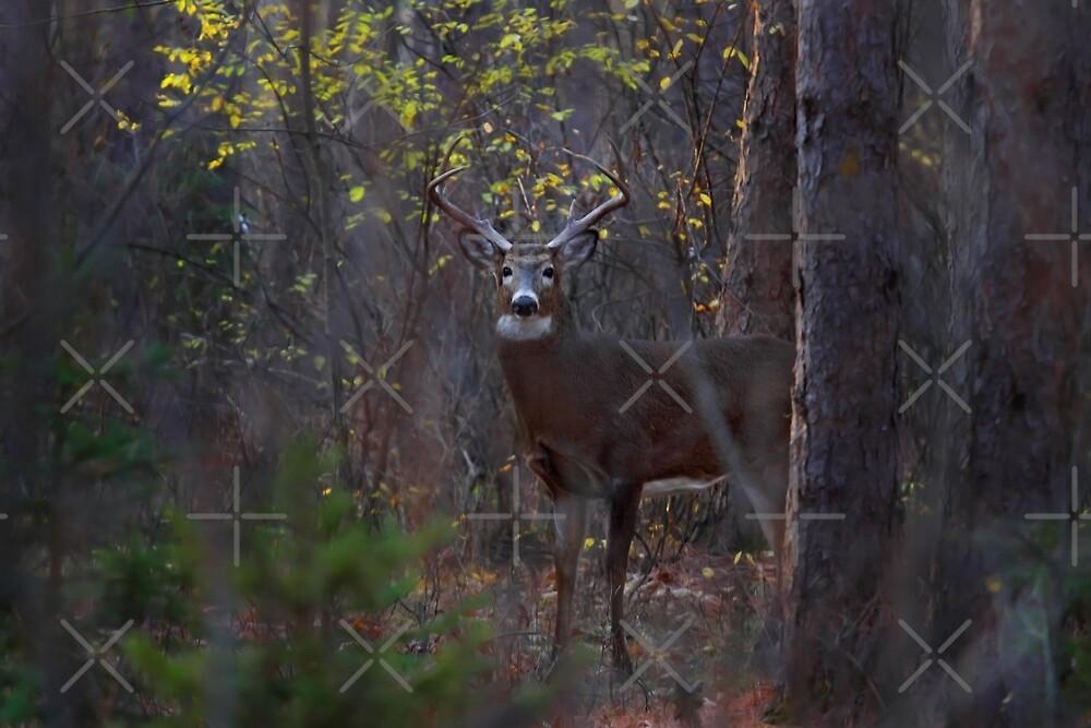 Deep Woods Buck - White-tailed Deer by Jim Cumming