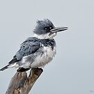 Belted Kingfisher by (Tallow) Dave  Van de Laar