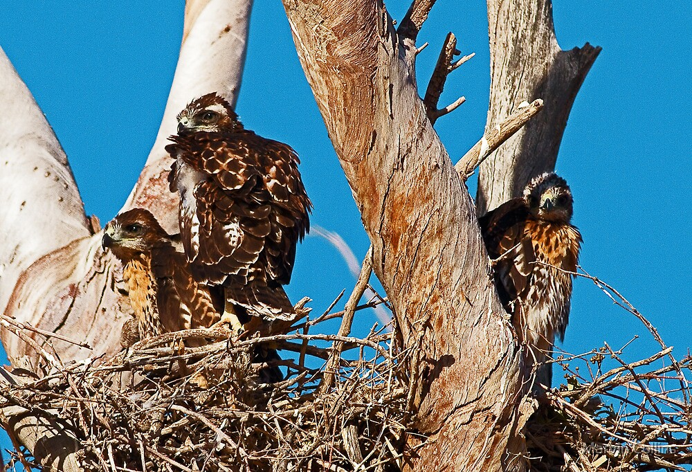 051013 Red Tailed Hawk Chicks by Marvin Collins