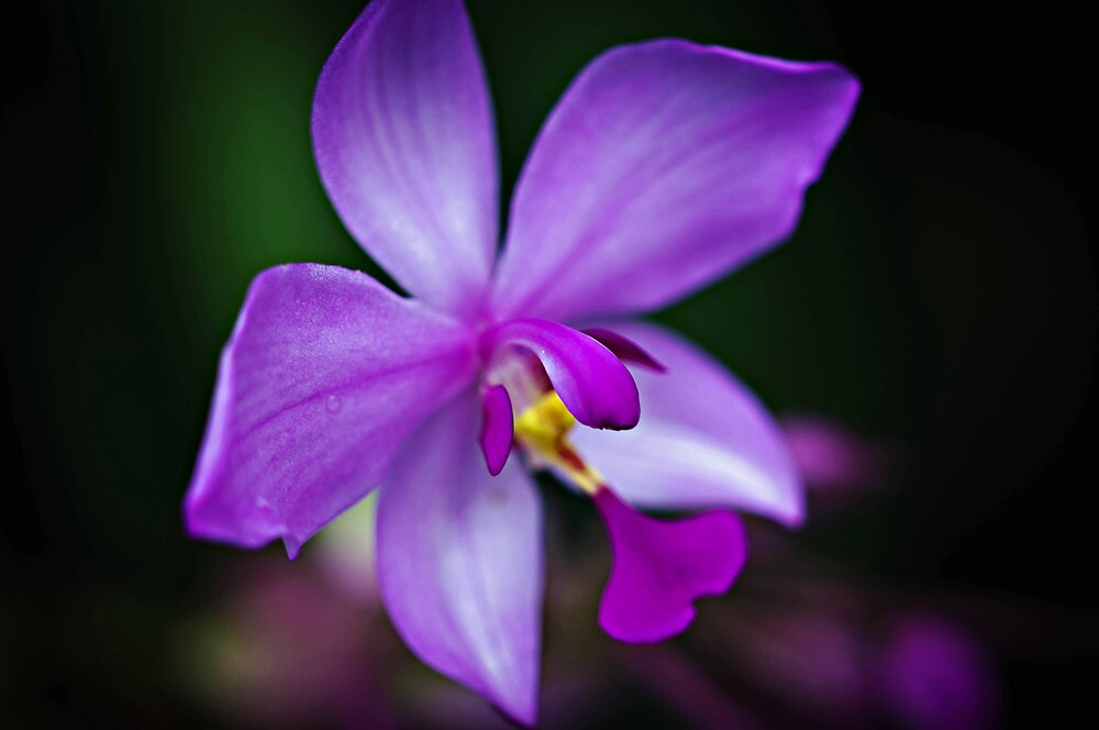Lilac Orchid by jenseye