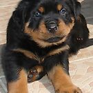 Rottweiler Puppy With Perplexed Facial Expression by taiche