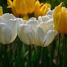 Simply Tulips by Debra Fedchin
