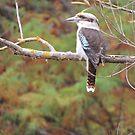 Kookaburra Lookout by Cheryl J Newman