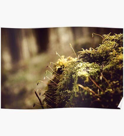 Ladybower Moss At Dawn Poster