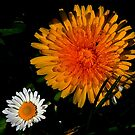DANDY N DAISY by snapdecisions