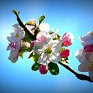 spring blossom by Fiona Gardner