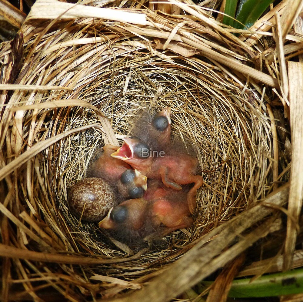 New Life - Song Sparrow Babies by Bine