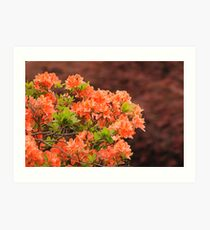 Peach Profusion Amid a World of Brick Red Art Print