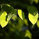 Spring leaves by Javimage