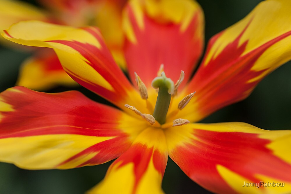 Dappled Tulip 1. The Tulips of Holland by JennyRainbow