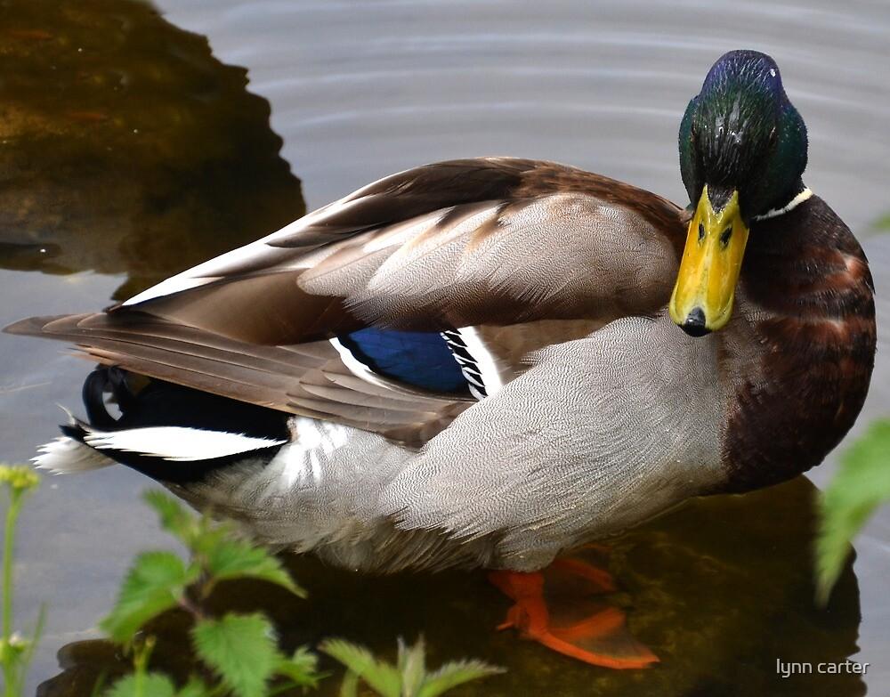 Mallard Duck At Mangerton Mill, Dorset UK by lynn carter