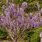 Wisteria by Penny Fawver