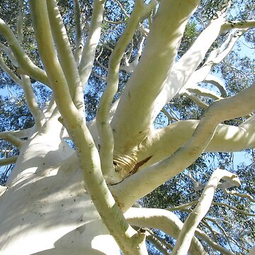 White Eucalyptus tree by 4Flexiway