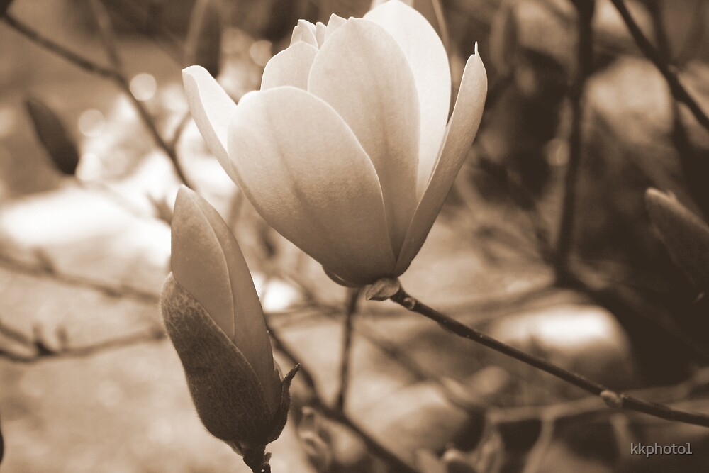 Sepia Magnolia by kkphoto1