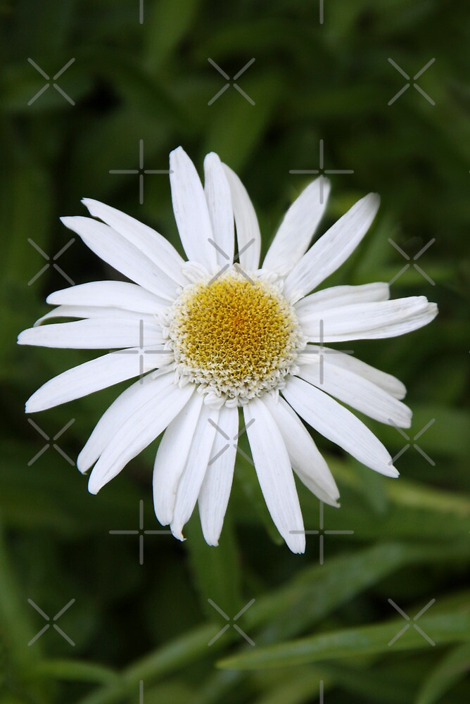Daisy Solitaire by Heather Friedman