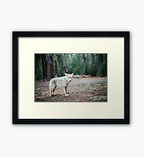 Wolf In Yosemite Framed Print