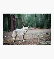Wolf In Yosemite Photographic Print